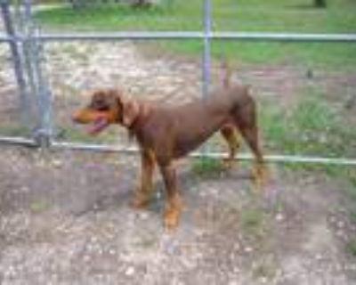 Adopt Frankie a Red/Golden/Orange/Chestnut - with Black Doberman Pinscher /