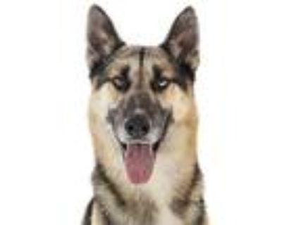 Adopt Brody a Siberian Husky / German Shepherd Dog / Mixed dog in Downey