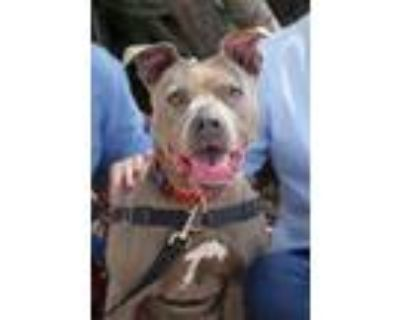 Adopt Rickie a Pit Bull Terrier