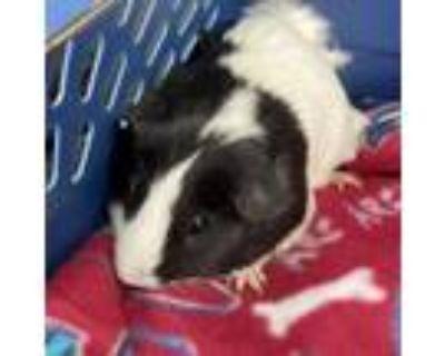 Adopt Shelly a Guinea Pig
