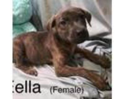 Adopt Eella a Brindle Great Dane / Mixed dog in El Dorado, KS (31880554)