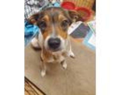 Adopt Rainbow a Beagle / Australian Cattle Dog / Mixed dog in Orlando