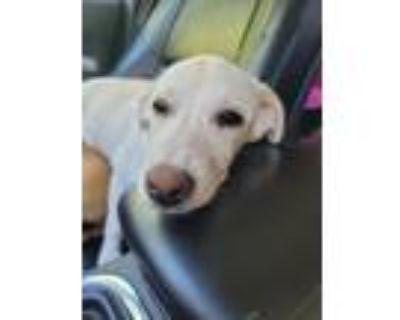 Adopt Maisie a Labrador Retriever, Australian Shepherd