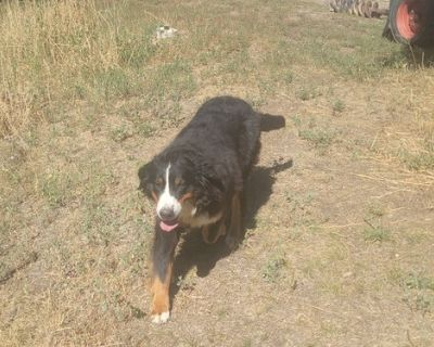 Bernese Mountain Dog Puppy for Sale - Kimber