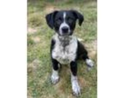 Adopt Rocky a Australian Cattle Dog / Blue Heeler, Terrier