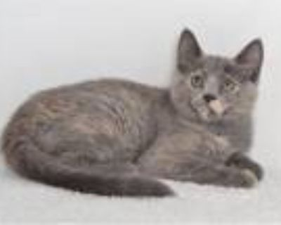 Adopt SQUIRTLE a Domestic Short Hair