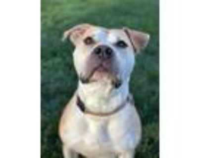 Adopt Frisco!! a Tan/Yellow/Fawn - with White American Pit Bull Terrier / Mixed