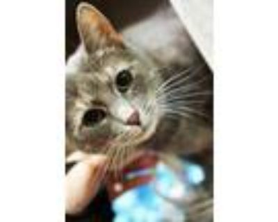 Adopt Cinder a Gray or Blue Domestic Shorthair / Domestic Shorthair / Mixed cat