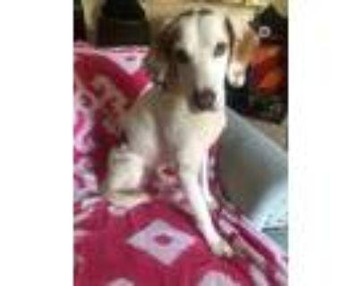 Adopt Mount Rainier a Hound (Unknown Type) / Mixed dog in Alexandria