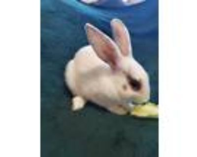 Adopt Buttercup (In foster) a White Other/Unknown / Other/Unknown / Mixed rabbit