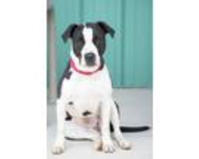 Adopt Harley a American Pit Bull Terrier / Mixed dog in Albuquerque