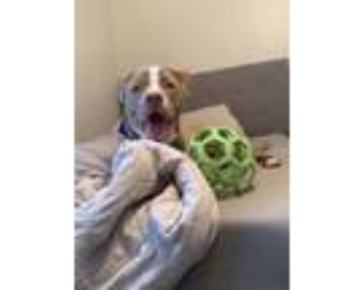 Adopt Malik a Tan/Yellow/Fawn - with White American Pit Bull Terrier dog in