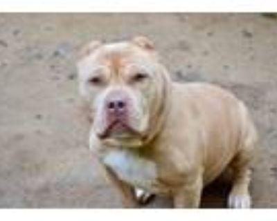Adopt Gremlin a Pit Bull Terrier