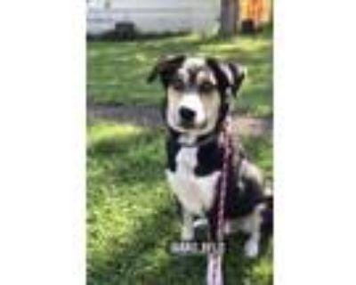Adopt Mica a German Shepherd Dog, Husky