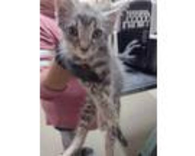 Adopt kitten 7 a Gray or Blue Domestic Shorthair / Domestic Shorthair / Mixed