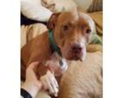 Adopt Millie - LA a Red/Golden/Orange/Chestnut American Staffordshire Terrier /