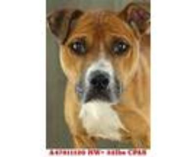 Adopt Taco a Brown/Chocolate American Pit Bull Terrier / Mixed dog in