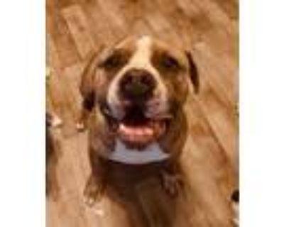 Adopt Huggie-Bear a Pit Bull Terrier, Mastiff
