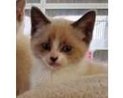 Adopt Princess Morbucks (adopted) a Siamese, Domestic Short Hair