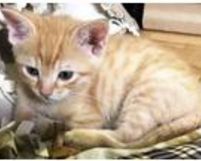 Adopt Fisher a Orange or Red Tabby Domestic Shorthair (short coat) cat in