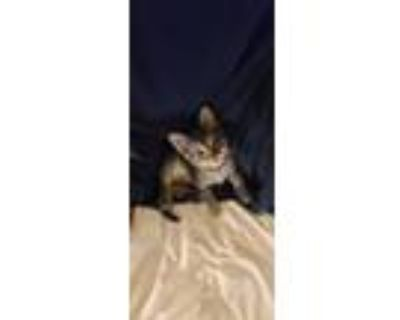 Adopt Chaos a Tiger Striped Siamese / Mixed (short coat) cat in Ellenwood