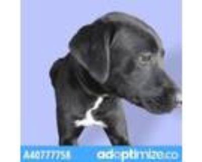 Adopt Blade a Black Labrador Retriever / Mixed dog in El Paso, TX (31611397)