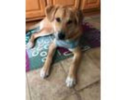 Adopt Rudy a Golden Retriever, Labrador Retriever