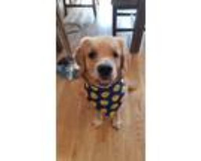 Adopt Kona a Red/Golden/Orange/Chestnut Golden Retriever / Mixed dog in San