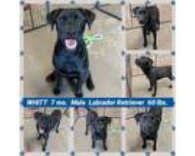 Adopt WHITT a Labrador Retriever