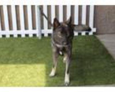 Adopt A554156 a Husky
