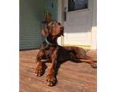Adopt Louis a Doberman Pinscher / Mixed dog in Houston, TX (30743267)