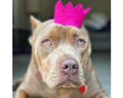 Adopt Lala a Tan/Yellow/Fawn - with White Cane Corso / American Staffordshire