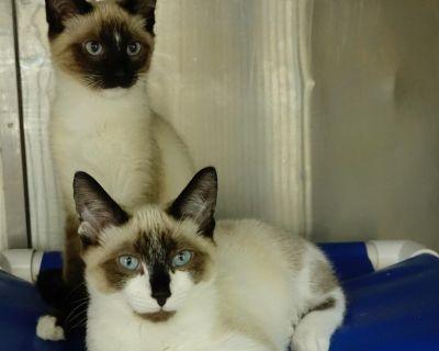 Vinyl - Domestic Shorthair/Siamese - Kitten Male