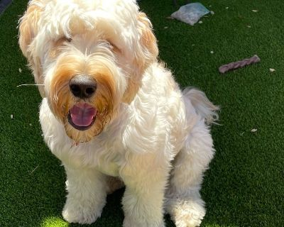 Goldendoodle Looking to Rehome 2-year-old Goldendoodle. He is really smart, potty...