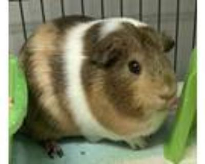 Adopt Kendall a Brown or Chocolate Guinea Pig / Guinea Pig / Mixed small animal