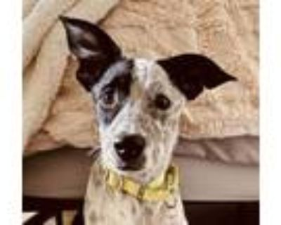Adopt Alvin Chipmunk a Australian Cattle Dog / Blue Heeler