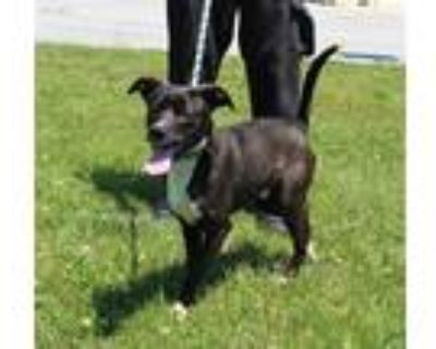 Adopt HOT DOGGERY a Black - with White American Pit Bull Terrier / Mixed dog in