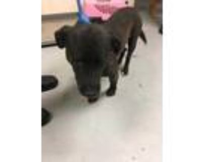 Adopt 48244468 a Black Shepherd (Unknown Type) / Mixed dog in Los Lunas