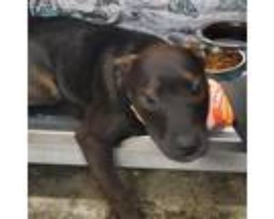 Adopt Isa a Brown/Chocolate Labrador Retriever dog in Jefferson City