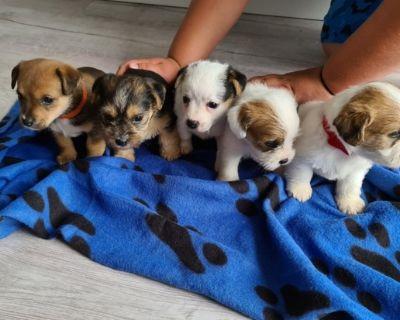 Registered Male*Female Shih Tzu puppies