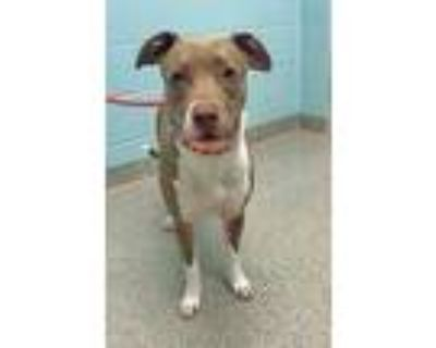 Adopt Lucy Lou a Red/Golden/Orange/Chestnut American Pit Bull Terrier / Mixed