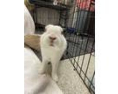 Adopt Bunnie a White American / American / Mixed rabbit in Key West