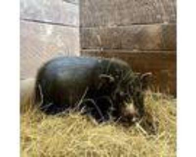 Girlie, Pig (farm) For Adoption In Asheville, North Carolina