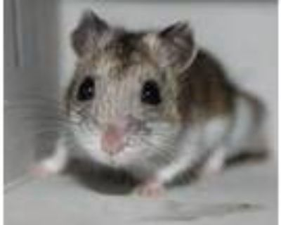 Adopt Rika and Margo a Dwarf Hamster