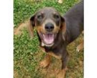 Adopt Rosie a Brown/Chocolate - with Tan Beagle / Mixed dog in Anderson