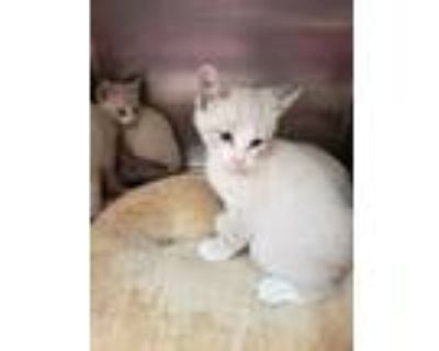 Adopt Lanai a Gray or Blue Domestic Longhair / Domestic Shorthair / Mixed cat in