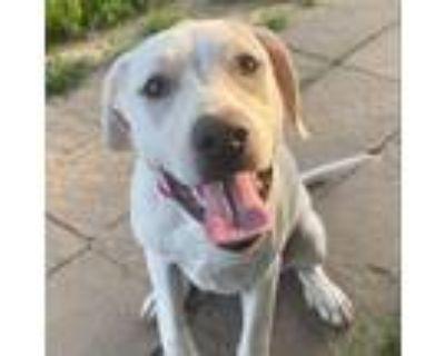Adopt Fiona a Tan/Yellow/Fawn Labrador Retriever / Mixed dog in Kansas City