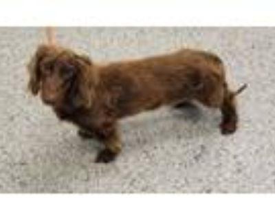 Adopt 48297565 a Dachshund, Mixed Breed
