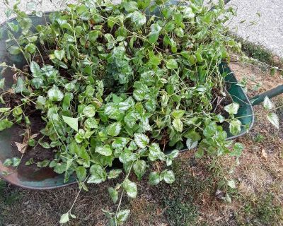 10.00 wheel barrel full of perennial ground cover. Wheel barrel not included