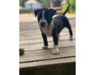 Adopt Frenchie a Black - with White Labrador Retriever / Pit Bull Terrier /